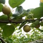 【梨の本摘果】果実は間隔をあけて実らせる 21