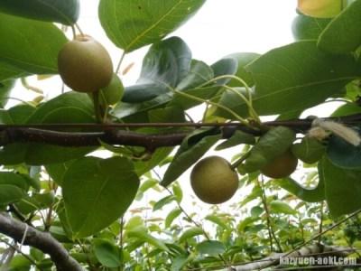 【梨の本摘果】果実は間隔をあけて実らせる 6