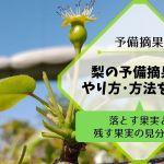 梨の予備摘果の方法