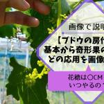 ブドウの房作りの方法を画像・動画で解説【種無しブドウ・種ありブドウの花穂整形】 572