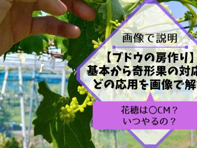ブドウの房作りの方法を画像・動画で解説【種無しブドウ・種ありブドウの花穂整形】 34
