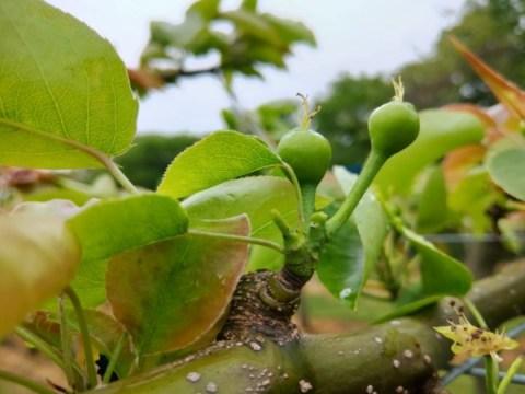 梨の予備摘果の方法・時期を画像で解説『落とす果実と残す果実の見分け方』 370