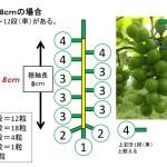 【ブドウの本摘粒】軸長は何cmが良い?軸長の長さが収穫時の房におよぼす影響とは?【画像あり】 3