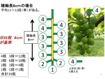 【ブドウの本摘粒】軸長は何cmが良い?軸長の長さが収穫時の房におよぼす影響とは?【画像あり】 5