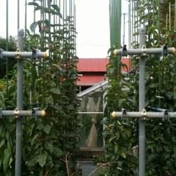 ブドウの苗は新梢を寝かせて、梨は垂直に栽培すると良いかも 211