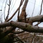 【梨の誘引のポイント】誘引した枝の根元は芽欠きをする 331