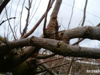 【梨の誘引のポイント】誘引した枝の根元は芽欠きをする 115