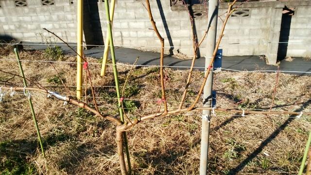 【桃のジョイントの剪定方法】太枝が出た時の対処法 7