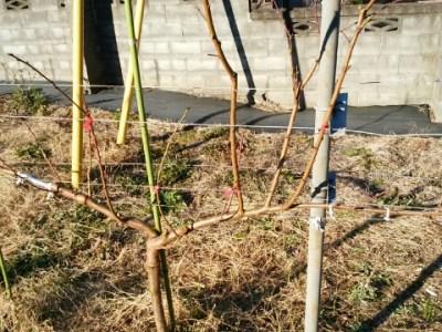 【桃のジョイントの剪定方法】太枝が出た時の対処法 10
