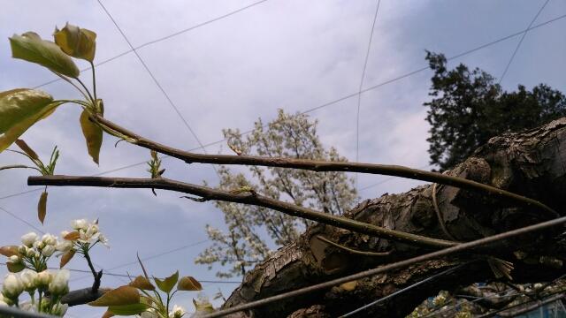 【梨の摘蕾する場所】JV栽培と二本主枝の違い 56