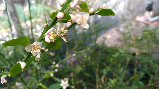 フィンガーライムの害虫【開花時期の4月上旬頃に行う病害虫防除】 9