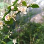 フィンガーライムの害虫【開花時期の4月上旬頃に行う病害虫防除】 105