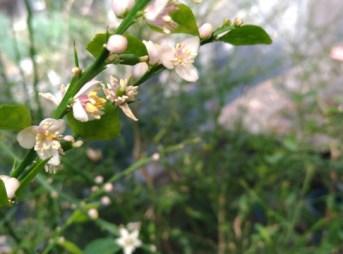 フィンガーライムの害虫【開花時期の4月上旬頃に行う病害虫防除】 195