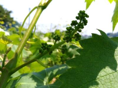 【ブドウの短梢剪定】冬の4芽目剪定で良い房ができました 66