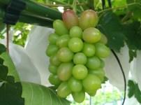 ブドウの生育過程 35