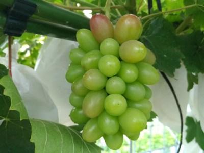 【ブドウの生育過程】房ができてから開花·摘粒の様子を画像で紹介 6
