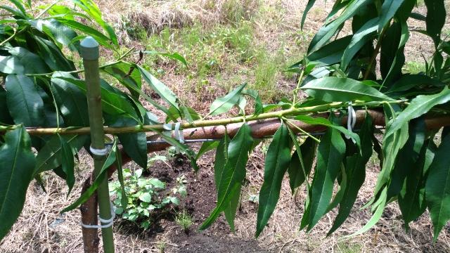 【桃のジョイント栽培】来年接ぎ木するための新梢は8月中に誘引してクセをつけておく 49