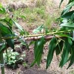 【桃のジョイント栽培】来年接ぎ木するための新梢は8月中に誘引してクセをつけておく 236
