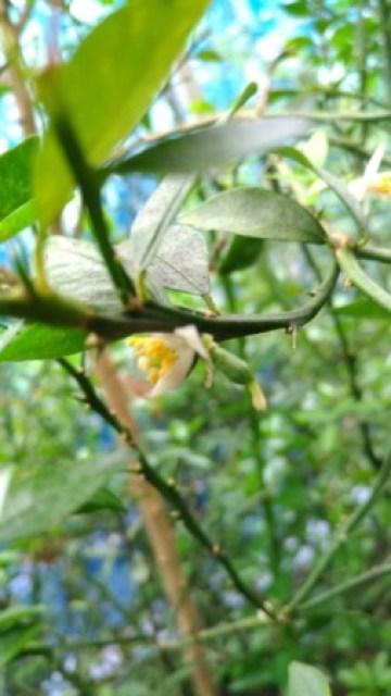【フィンガーライムの第2開花時期は8月上旬】フィンガーライムは二季成り性?その性質を紹介 20