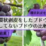 【ブドウの環状剥皮の30日後の結果】環状剥皮をしたブドウしてないブドウの着色を比較 68