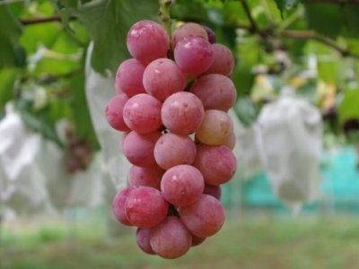 環状剥皮後のブドウの着色結果は?環状剥皮以外の着色促進法(冷却法)も紹介 7