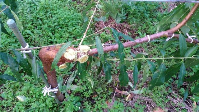 【ジョイント栽培】桃の側枝は太くなりやすいので注意!太らせない対策を紹介 9