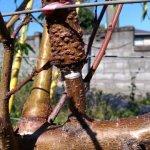 【桃の環状剥皮】環状剥皮後の枝を画像で紹介。枝のバランスに注意する 15