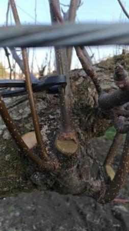 【梨の誘引が楽になる便利な道具】幹割ハサミの使い方を動画で紹介 21
