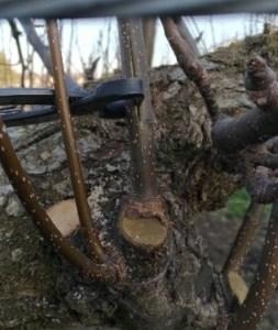 【梨の誘引が楽になる便利な道具】幹割ハサミの使い方を動画で紹介 35