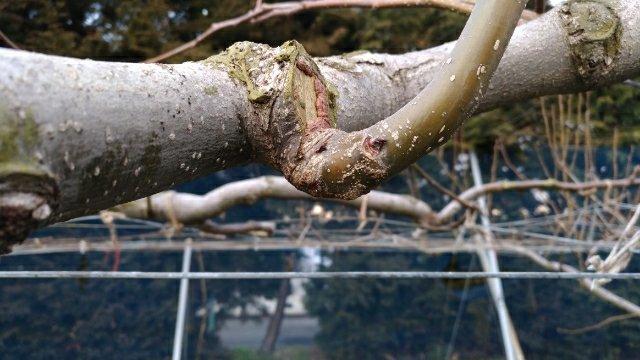 【梨の剪定のポイント】コブを少し残して新梢を出させる方法 49