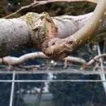 【梨の剪定のポイント】コブを少し残して新梢を出させる方法 223