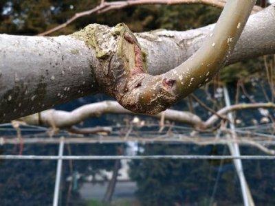 【梨の剪定のポイント】コブを少し残して新梢を出させる方法 32