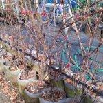ブドウの台木