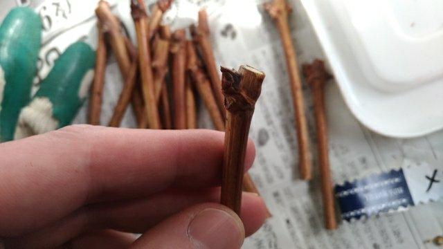 【昭和精器ヒーター付育苗器 愛菜花】を使ったブドウの接木をする方法と手順 143
