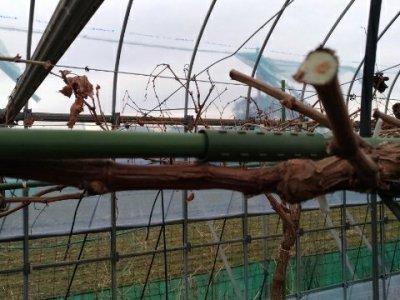 【ブドウのH型短梢樹形】支柱を組み合わせて簡単に作れる道具を紹介 63