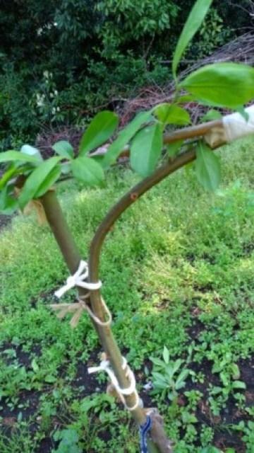 【桃のジョイントの接ぎ木方法を解説】使った道具とポイントを解説 30
