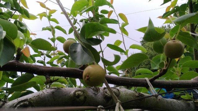 【梨の本摘果のやり方】果実の残し方とその理由を画像で解説 85