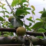 【梨の本摘果のやり方】果実の残し方とその理由を画像で解説 49