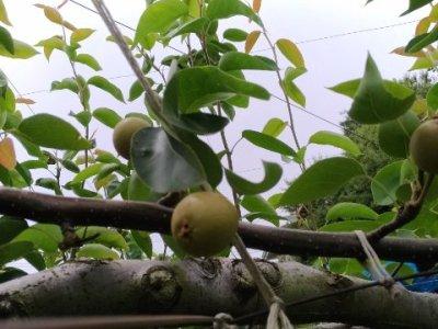 【梨の本摘果のやり方】果実の残し方とその理由を画像で解説 3
