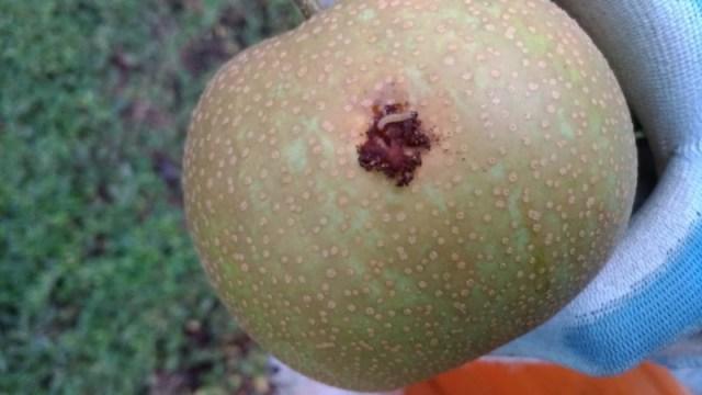 【梨の本摘果のやり方】果実の残し方とその理由を画像で解説 97