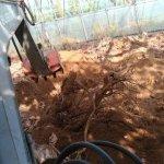 【改植】ブドウの木の入れ替えで生産量UPを目指す 4