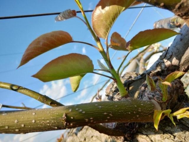 【梨の芽欠きの場所とポイント】芽欠きで徒長枝を出さない方法 59