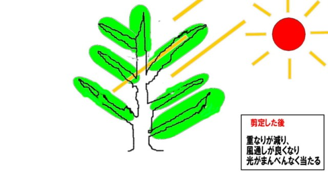 【フィンガーライムの剪定方法】3年間栽培して分かった剪定方法と時期を徹底解説 66