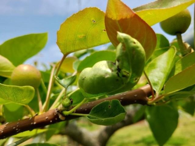 【梨の本摘果のやり方】果実の残し方とその理由を画像で解説 100