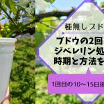 【種無しブドウの作り方②】2回目のジベレリン処理の時期は1回目の10〜15日後に行う 103