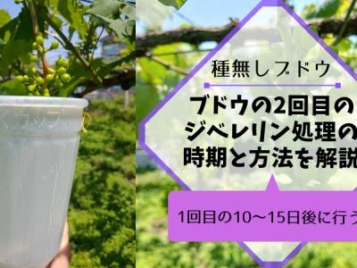 【種無しブドウの作り方②】2回目のジベレリン処理の時期は1回目の10〜15日後に行う 104