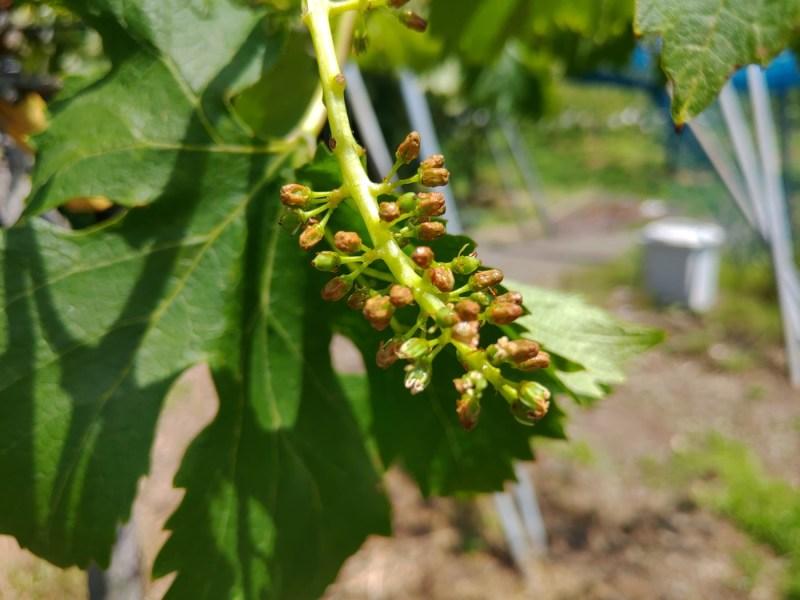 【まとめ】種なしブドウの作り方を画像で解説【ジベレリン処理・房作り・摘粒の時期と方法】 628