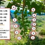 【ブドウの本摘粒を動画で解説】粒の残し方や段の数え方などを紹介 374