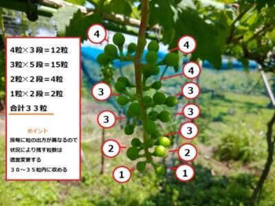 【ブドウの本摘粒を動画で解説】粒の残し方や段の数え方などを紹介 68