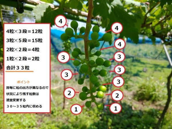 【ブドウの本摘粒を動画で解説】粒の残し方や段の数え方などを紹介 79